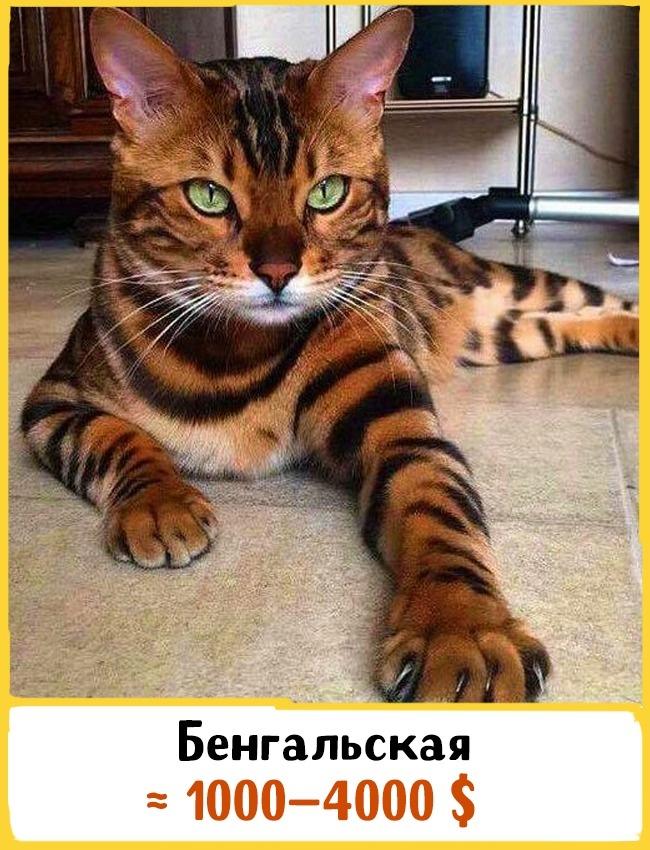 Эта порода была выведена врезультате скрещивания азиатской леопардовой кошки сдомашней. Эти