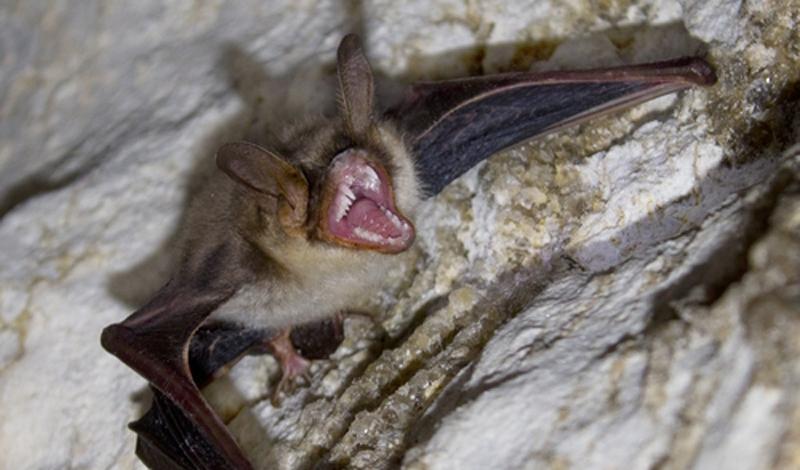 6. Летучая мышь-вампир Согласно легенде, каждый уважающий себя вампир способен превратиться в летучу