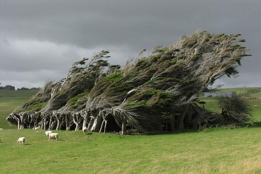 2. Незащищенные от ветра деревья в Новой Зеландии