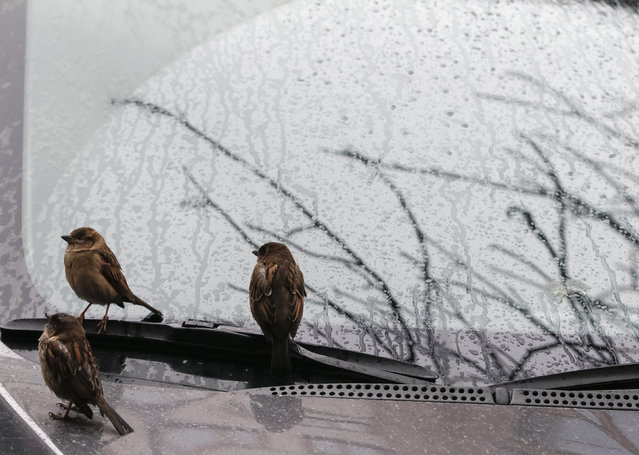 Sparrows perch on a car's windshield during a rain shower in Kiev, Ukraine, March 1, 2016. (Pho