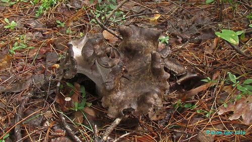Болетопсис бело-чёрный (Boletopsis leucomelaena) Разросшийся гриб с разницей в три недели Автор фото: Кром Игорь