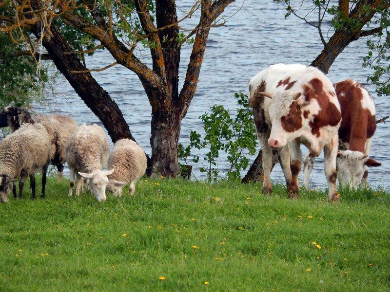 Вечером у речки коровки и овечки...