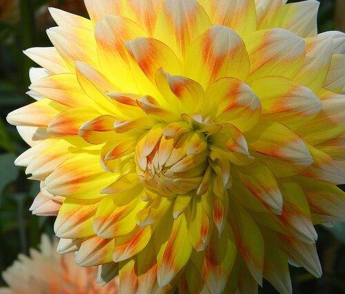 Солнечные цветы георгины