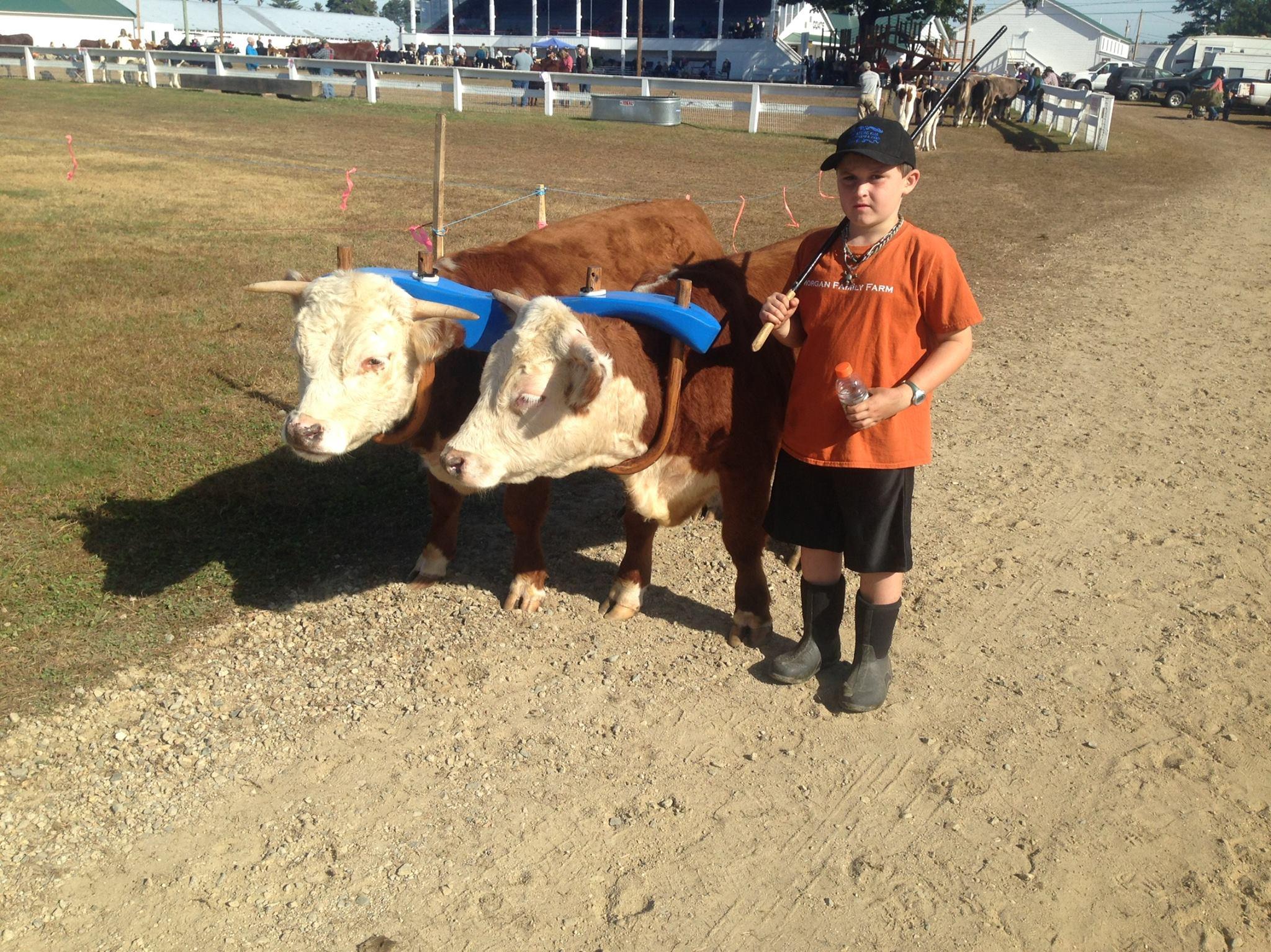 В Айове появились коровы размером с собаку