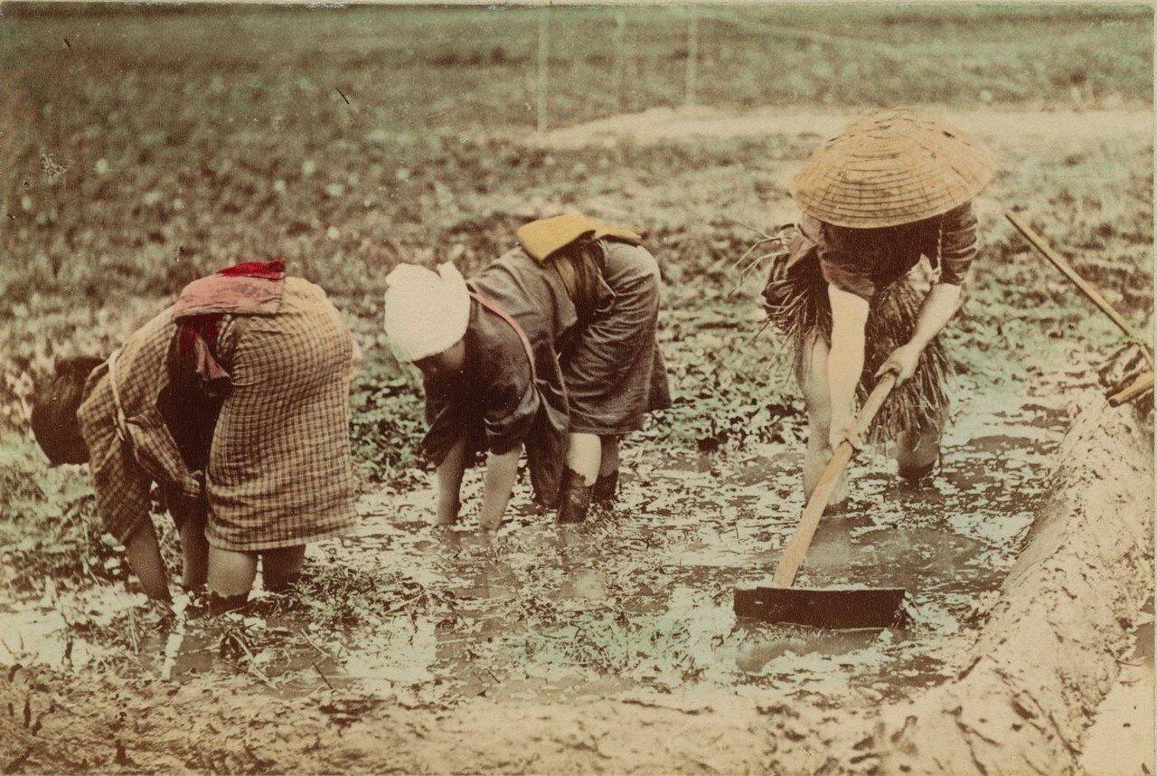 Возделывание рисового поля