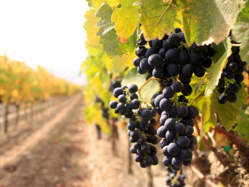 выращивание винограда в беларуси