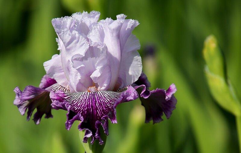 Пиршество красок Всё собой заполняет - Ирисы цветут