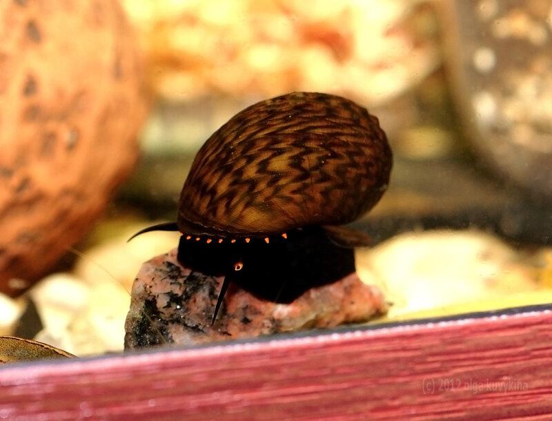 Палюдомус (Paludomus sp.), семейство Палюдомиды