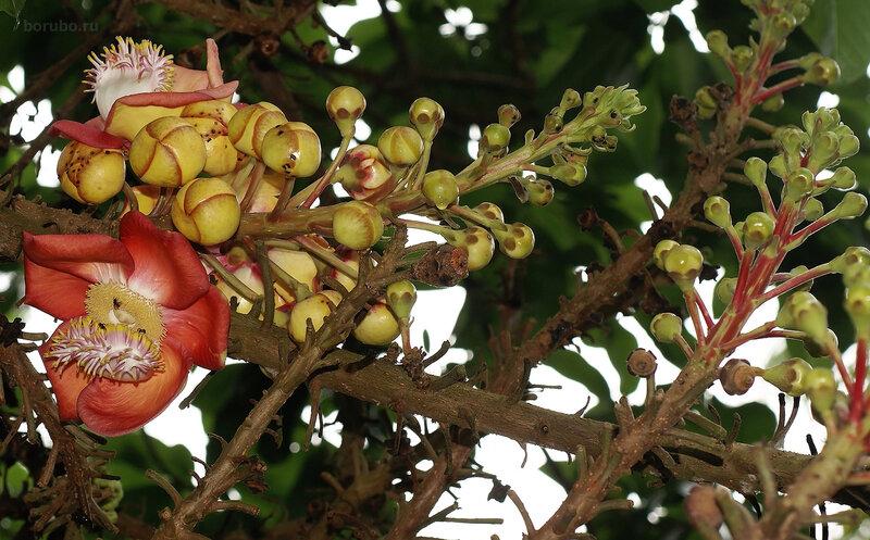 Цветение дерева курупита гвианская (Couroupita guianensis)