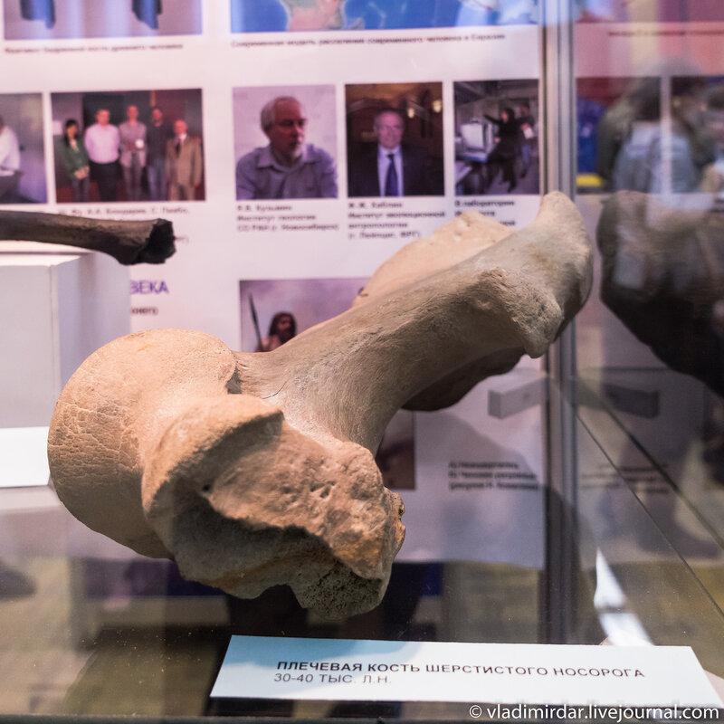 Плечевая кость шерстистого носорога