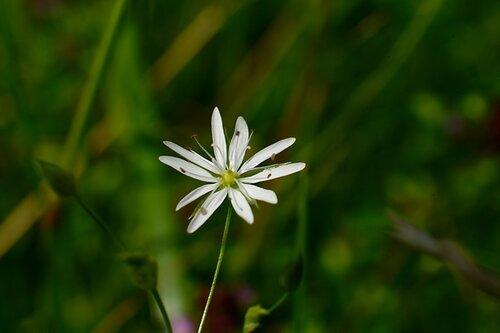 Цветочек беленький