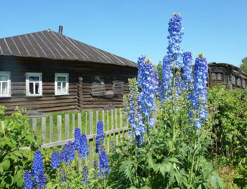 Синие цветы июля