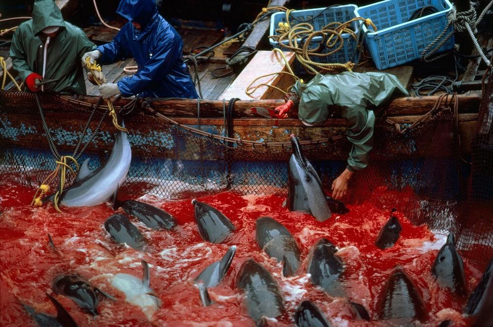 В Японии опять убили и расчленили дельфинов