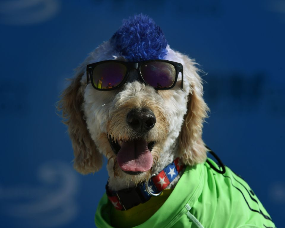 Surf dog Derby waits to compete during t