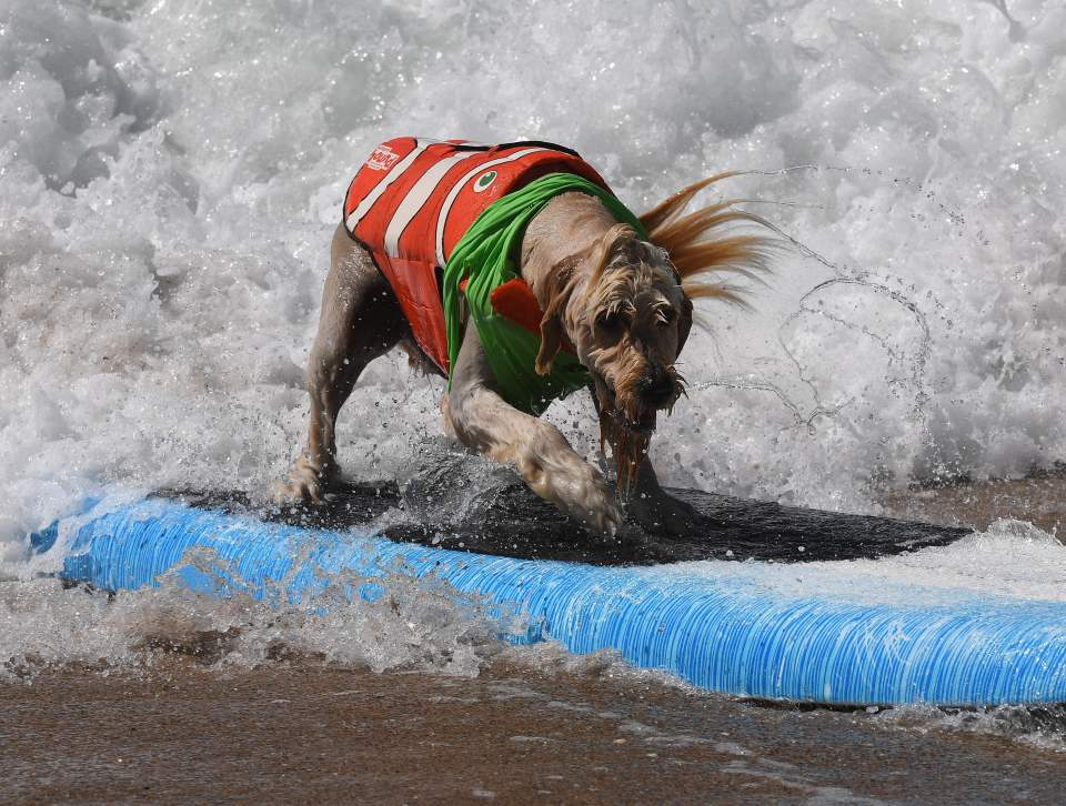 Surf dog Yogi rides a wave to the beach