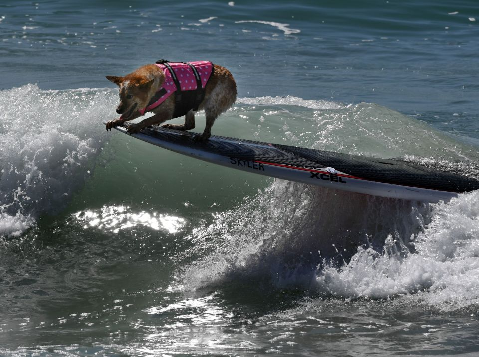 A surf dog competes in the tandem event