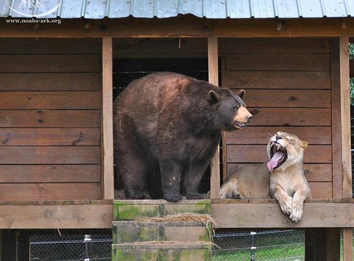 Однако на природе подобный союз невозможен, и здесь, под опекой человека, животные чувствуют себ