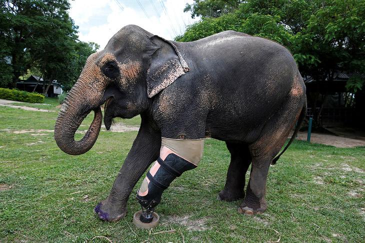 Слоненку по имени Моша было всего несколько месяцев, когда она подорвалась на мине. Её доставил