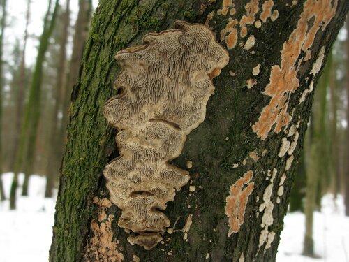 Датрония мягкая (Datronia mollis) и Пениофора лососевая (Peniophora incarnata) Автор фото: Станислав Кривошеев