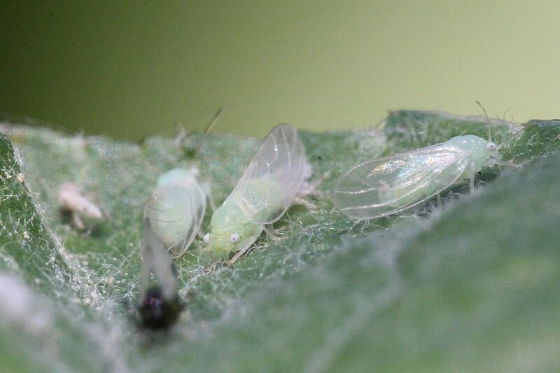 Крылатые тли со светло-зелёным телом и белыми глазами сосут хоботками сок на листе яблони