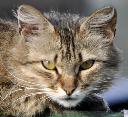 Кошка фр 500.jpg