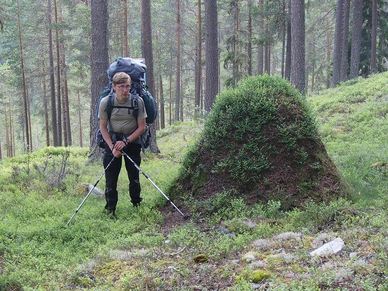 брусника растет на большом муравейнике в лесу в Норвегии