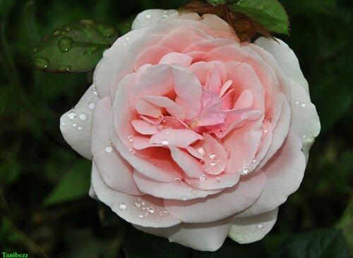 "Роза чайно-гибридная ""Афродита"" / Rosa tea-hybrid ""Aphrodite"""