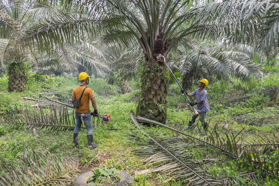 4. Очень многие ошибочно думают, что пальмовое масло получают из ствола пальмы. На самом же деле это