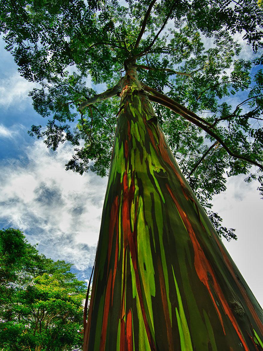 12. Радужный эвкалипт в Кауаи, Гавайи