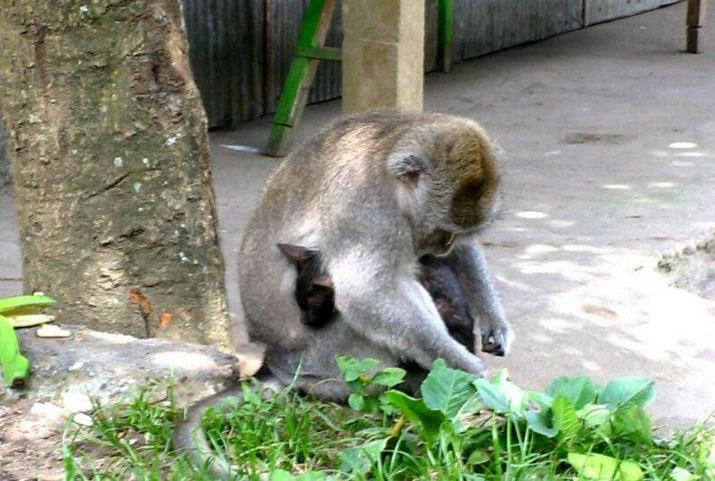 Бабуин усыновил котенка в израильском зоопарке