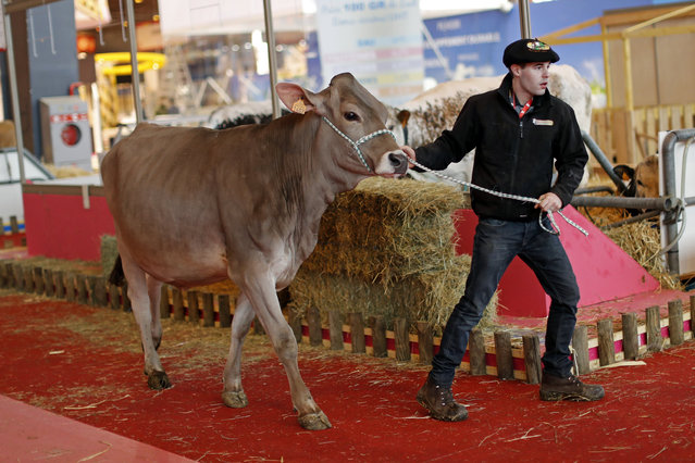 A French farmer leads his cow through the livestock area as preparations continue on the eve of the