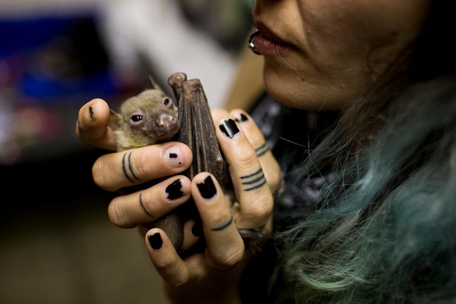 Nora Lifschitz holds a wounded Egyptian fruit bat in her apartment in Tel Aviv, Israel, 29 February