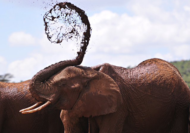 An African elephants throws mud onto himself at the Mpala Research Center and Wildlife Foundation, n