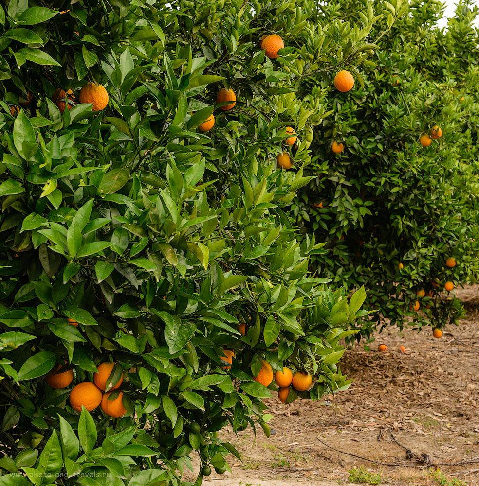 Фото 36. Апельсиновый сад в Турции. Отзывы туристов о самостоятельном отдыхе в Анталии. 1/125, -1.0, 8.0, 800, 48.