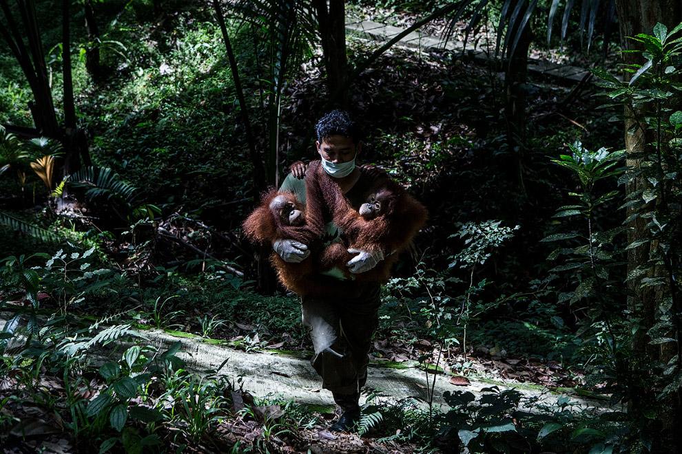 10. Живут орангутаны до 30 лет, в неволе иногда гораздо дольше. (Фото Ulet Ifansasti):