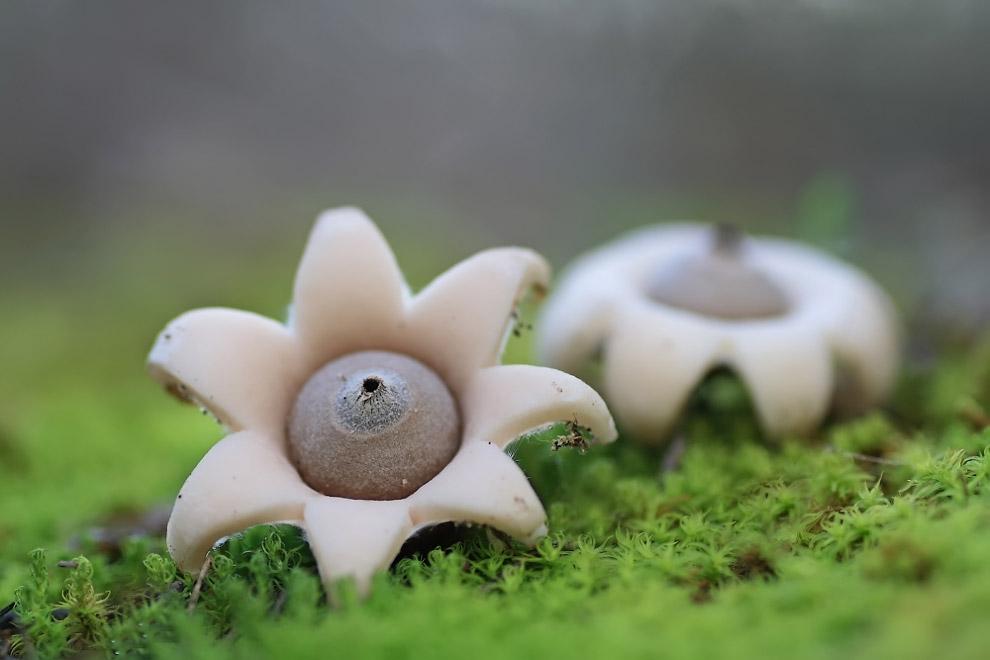 21. Морской гриб (Aseroe rubra) для нас этот гриб является экзотическим, но в Австралии он дово