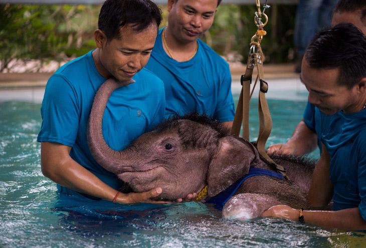 1. К счастью, Фа Джам —так зовут слона — взял на реабилитацию частный тропический парк Нонг Нуч
