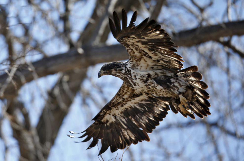 11. Археологические свидетельства указывают на древнюю связь человека с белоголовым орланом. Во
