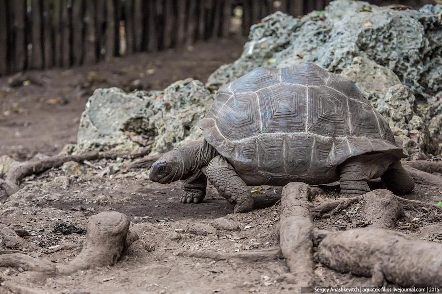 4. Эта черепаха действительно огромна! Самые крупные особи могут достигать длины панциря почти