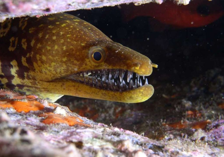2. Жёлтая морена. 3. Рыба-капля.