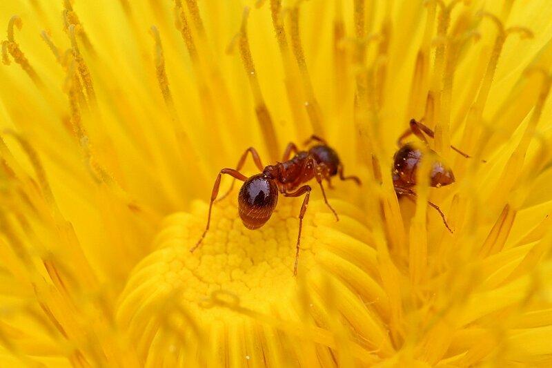 Рыжий муравей в центре цветка одуванчика и отражение фотографа