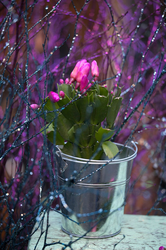 Christmas cactus Schlumbergera in an aluminum bucket with garlands as for home decoration