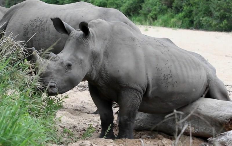 Вы видали, как носороги яйца чешут?