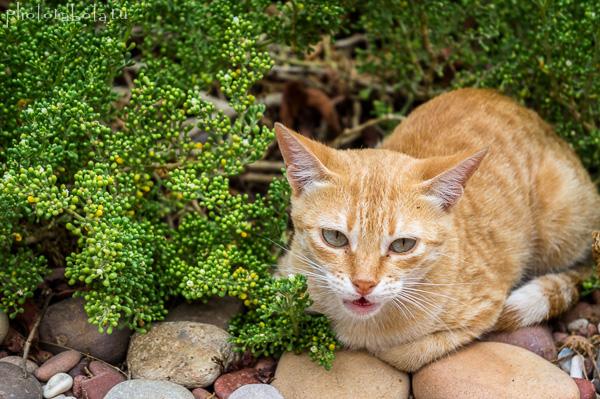 Сокотрийский котик