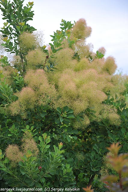 Cotinus coggygria Green Fountain.JPG