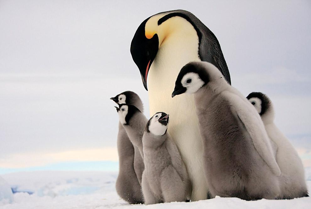 5. Пингвины гнездятся чаще всего большими колониями, насчитывающими нередко десяток тысяч пар и