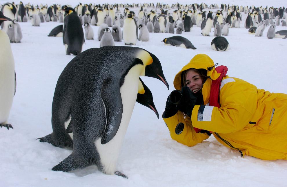14. Родители и малыш. Императорский пингвин — самый крупный и тяжёлый из современных видов семе
