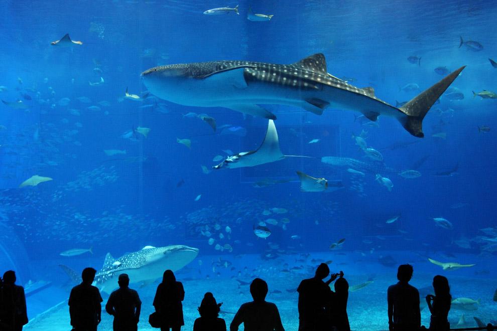 Большая белая акула Где: бухта Гансбай (ЮАР) Cезон: с мая по август Цена: $3495 c человека Прод