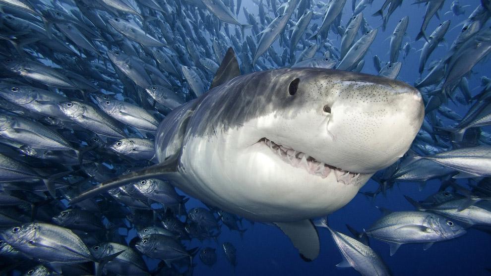 Большая белая акула — один из немногих видов акул, которые представляют реальную опасность для