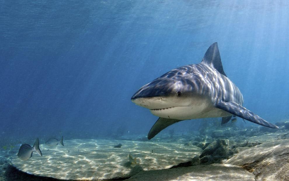 Акулы появляются почти сразу после того, как кровь растворится в воде, и начинают описывать кру